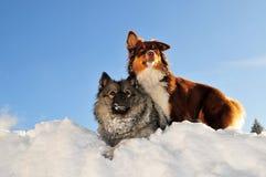 Het spelen de honden stoeien in de sneeuw Stock Afbeelding