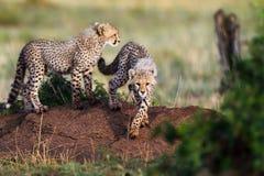 Het spelen de welpen van de Jachtluipaard, Masai Mara, Kenia Royalty-vrije Stock Foto's