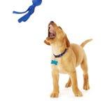 Het spelen Geel Labrador Puppy Stock Fotografie
