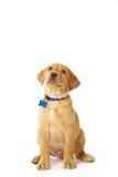 Het spelen Geel Labrador Puppy Stock Foto