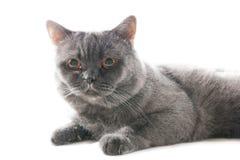 Het spelen grijze kat. Stock Foto