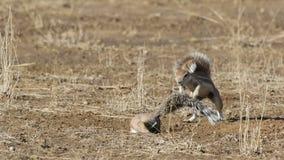 Het spelen grondeekhoorns