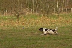Het spelen herdershond, die een bal in een groene weide achtervolgen stock foto