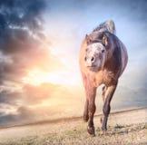 Het spelen het lopen paard in zon bij de achtergrond van de dageraadhemel Stock Fotografie
