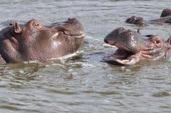 Het spelen hippopotams Royalty-vrije Stock Afbeelding