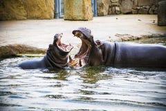 Het spelen Hippos royalty-vrije stock afbeeldingen