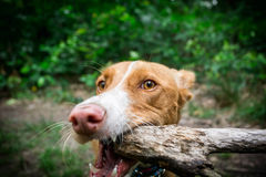 Het spelen hond Stock Foto