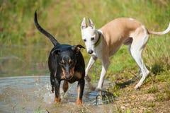 Het spelen honden Royalty-vrije Stock Fotografie
