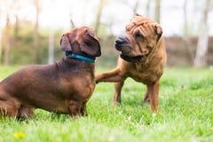 Het spelen honden Royalty-vrije Stock Foto's