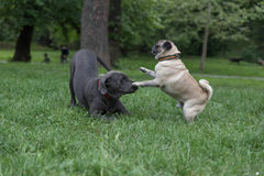 Het spelen honden Stock Afbeelding