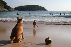 Het spelen honden en kokosnoot op een strand dichtbij aan een overzees Royalty-vrije Stock Afbeelding