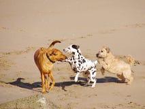 Het spelen honden op het strand Stock Fotografie