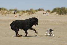 Het spelen honden op het strand Stock Foto's
