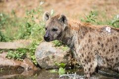 Het spelen hyena in het water Royalty-vrije Stock Foto