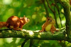 Het spelen jonge eekhoorns Stock Foto