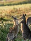 Het spelen kangoeroe stock fotografie