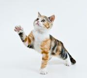 Het spelen katje. Royalty-vrije Stock Foto's