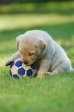 Het spelen Labrador stock foto's