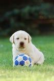 Het spelen Labrador Royalty-vrije Stock Foto's