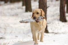 Het spelen Labrador in sneeuw stock afbeeldingen