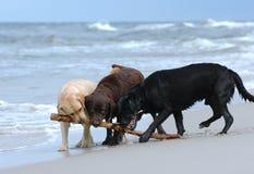 Het spelen labradors stock afbeeldingen