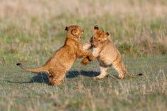 Het spelen leeuwwelpen Royalty-vrije Stock Afbeelding