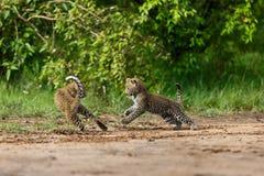 Het spelen Luipaardwelpen in Masai Mara, Kenia Royalty-vrije Stock Foto