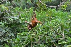 Het spelen macaque aap in de wildernis Royalty-vrije Stock Afbeeldingen