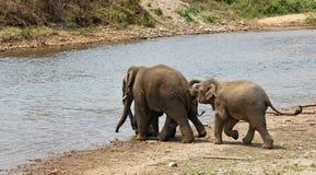 Het spelen olifanten. Stock Afbeeldingen