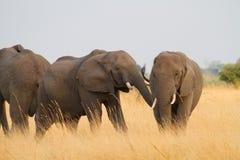 Het spelen olifanten Stock Foto's