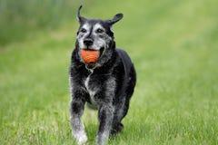 Het spelen oude hond Stock Foto