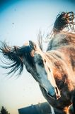Het spelen paard in een sprong op de voorbenen en het Hardnekkig verzetten tegen zich met zijn achterste benen Stock Afbeeldingen