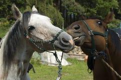 Het spelen paarden Royalty-vrije Stock Afbeeldingen