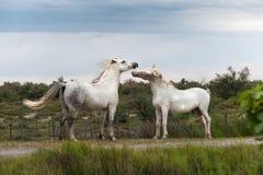 Het spelen paarden Royalty-vrije Stock Foto