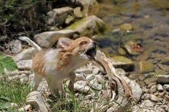 Het spelen puppychihuahua royalty-vrije stock foto's