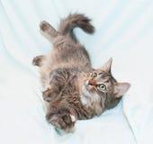 Het spelen tri-kleuren groen-eyed katje Stock Afbeelding