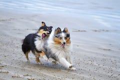 Het spelen twee Shelties op het strand royalty-vrije stock foto