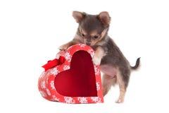 Het spelen van Chihuhua met een hart gevormde rode doos Stock Afbeeldingen