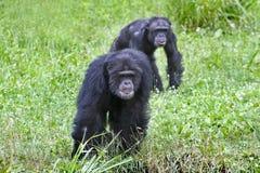 Het spelen van chimpansees volgt de leider Stock Afbeelding