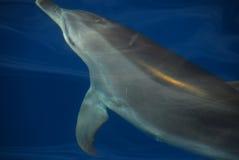 Het spelen van de dolfijn in Hervey Baai, Australië Royalty-vrije Stock Afbeeldingen