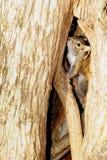 Het Spelen van de eekhoorn huid-en-zoekt Stock Foto