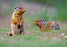 Het spelen van de Eekhoorn van de babygrond Royalty-vrije Stock Foto's