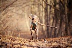 Het spelen van de hond Stock Foto's