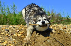Het spelen van de hond Stock Afbeelding
