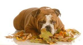 Het spelen van de hond in de herfstbladeren Stock Afbeelding