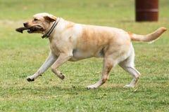 Het spelen van de hond in het park Stock Foto's