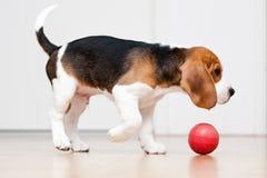Het spelen van de hond met bal stock foto's