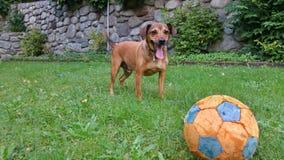 Het spelen van de hond met een bal royalty-vrije stock fotografie