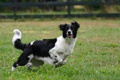 Het spelen van de hond met een bal Stock Afbeeldingen