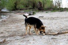Het spelen van de hond op het strand Stock Afbeelding